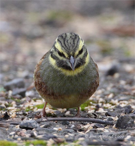 Cirl Bunting male Broadsands 28 2 09  IMG_2020