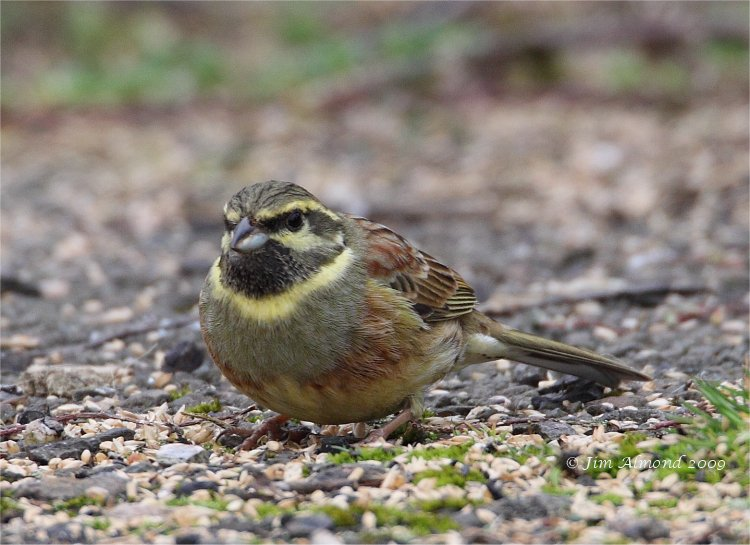 Cirl Bunting male Broadsands 28 2 09 IMG_1987
