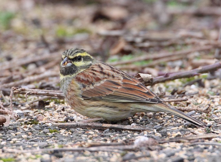 Cirl Bunting male Broadsands 28 2 09 IMG_2052