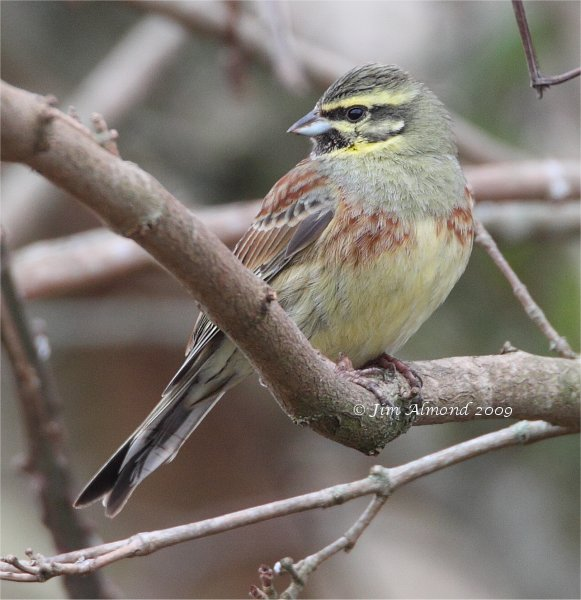 Cirl Bunting male Broadsands 28 2 09 IMG_2075