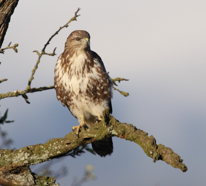 Common Buzzard Shrewsbury 3 4 13 IMG_1656