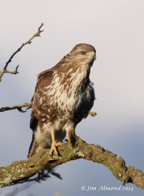 Common Buzzard Shrewsbury 3 4 13 IMG_1665