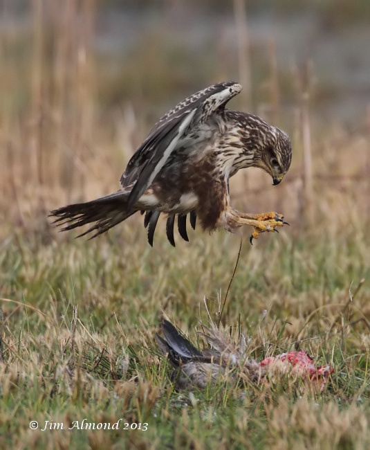 Common Buzzard pounce on Goose kill VP 15 1 13 IMG_0034