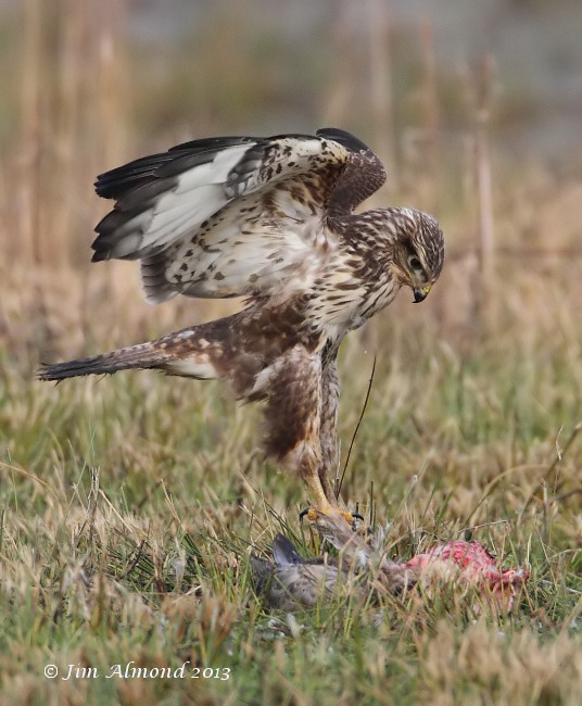Common Buzzard pounce on Goose kill VP 15 1 13  IMG_0035