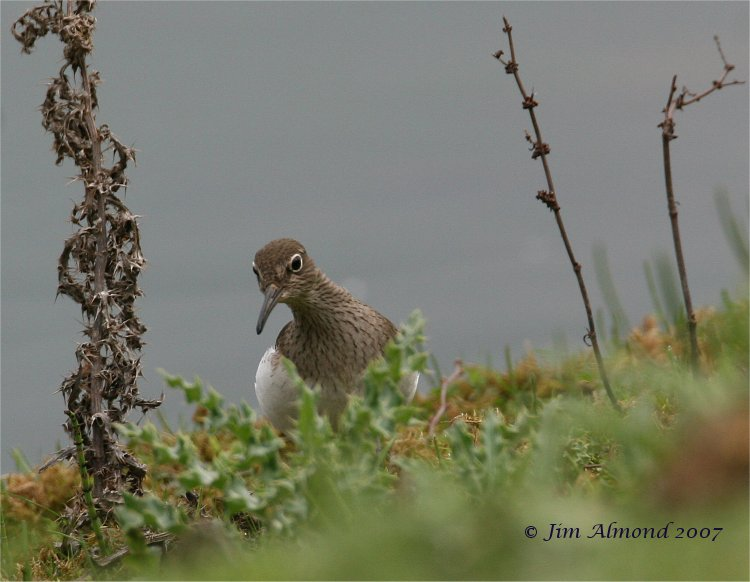 Common Sandpiper VP 24 4 07 IMG_3636