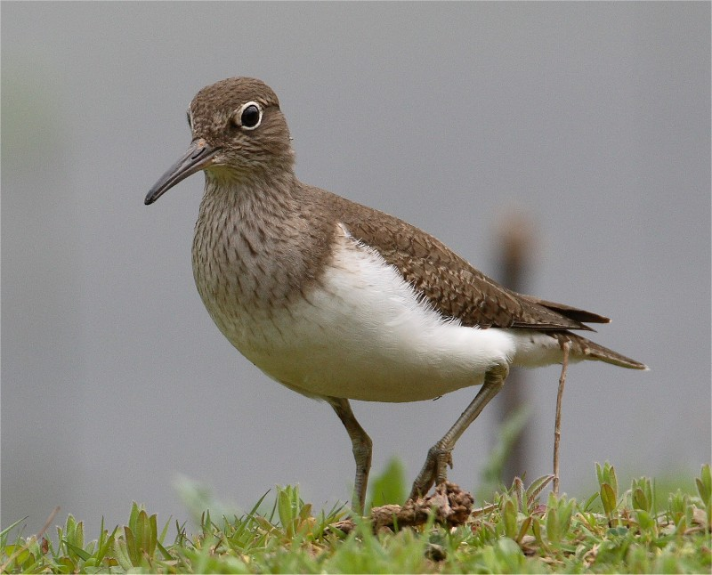 Common Sandpiper VP 24 4 07 bguides IMG_3648