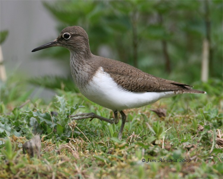 Common Sandpiper VP 24 4 07 IMG_3669