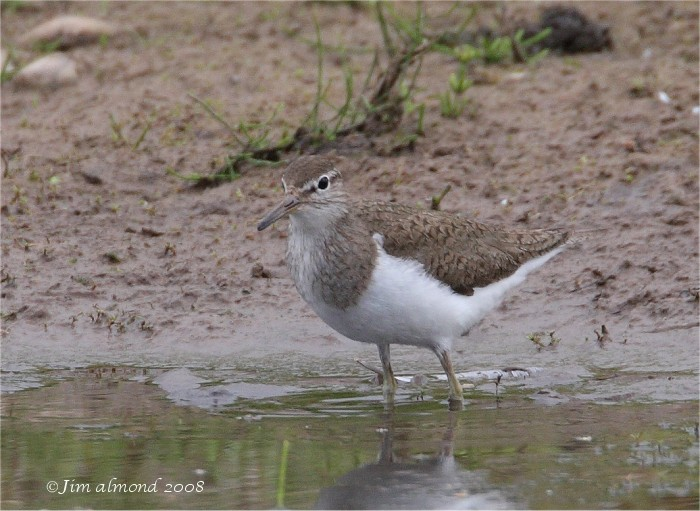 Common Sandpiper VP 28 6 08 IMG_1620