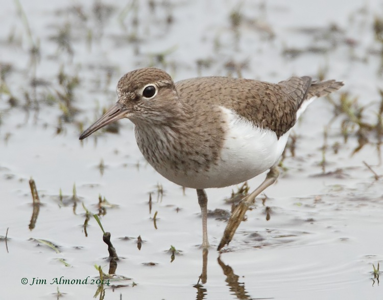 Common Sandpiper VP 7 4 14  IMG_0813