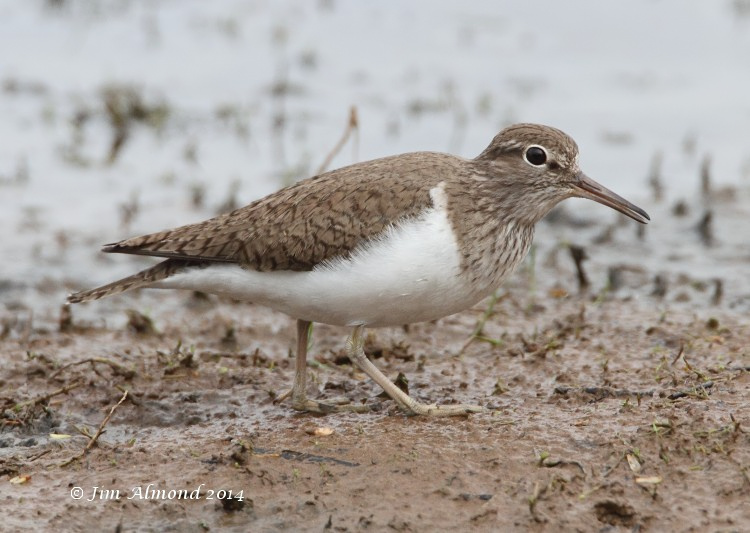 Common Sandpiper VP 7 4 14  IMG_0849