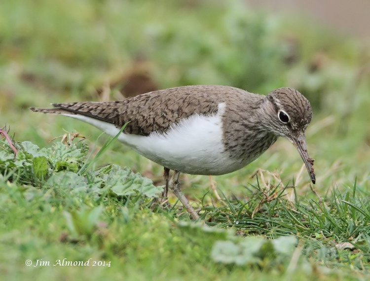 Common Sandpiper VP 7 4 14  IMG_0936