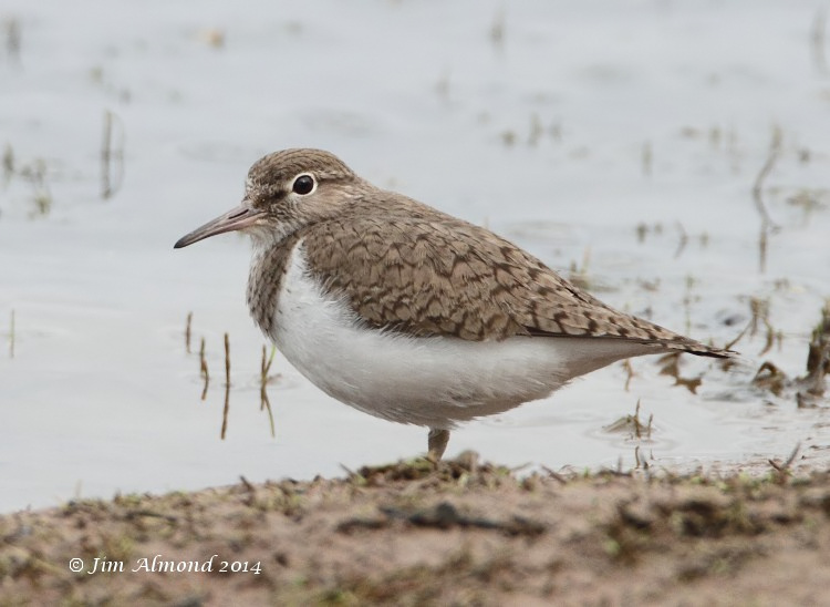 Common Sandpiper VP 7 4 14 IMG_0860