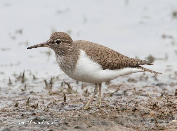 Common Sandpiper VP 7 4 14 Raw edit IMG_0840