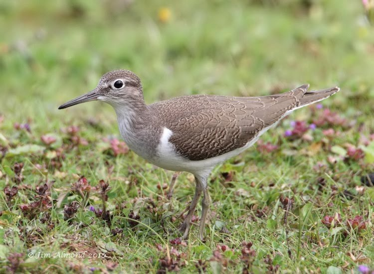 Common Sandpiper juvenile  VP 28 7 10  IMG_2992
