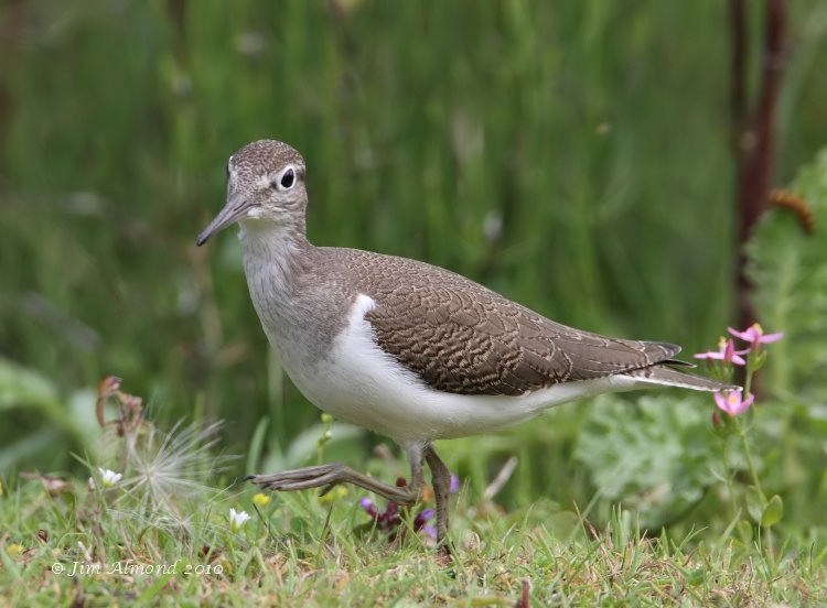 Common Sandpiper juvenile  VP 28 7 10 IMG_2979_filtered