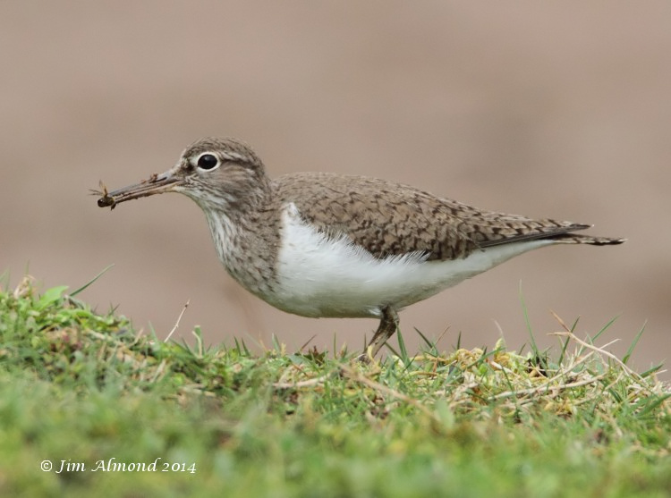 Common Sandpiper with Bumble Bee VP 7 4 14  IMG_0952