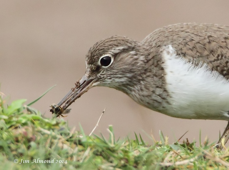 Common Sandpiper with Bumble Bee VP 7 4 14  IMG_0955