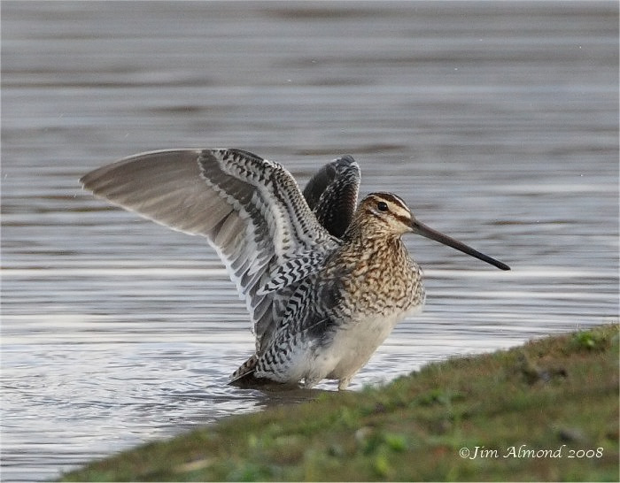 Common Snipe flap VP IMG_6589_filtered