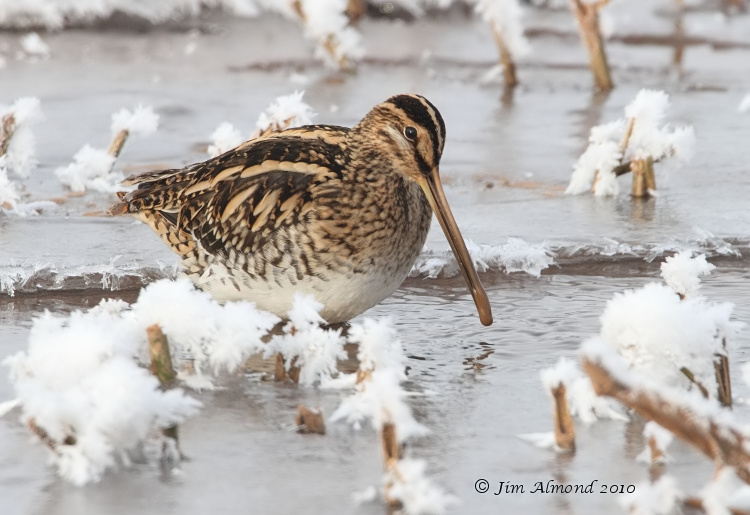 Common Snipe in icy stream Chelmarsh 26 12 10 IMG_0013