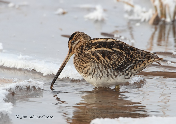 Common Snipe in icy stream Chelmarsh 26 12 10 IMG_9965