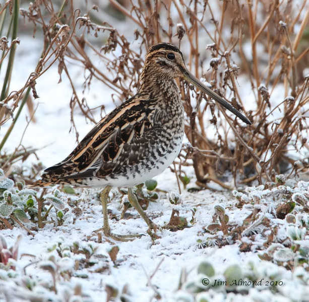 Common Snipe in snow Chelmarsh scrape 28 11 10 portrait  IMG_6252