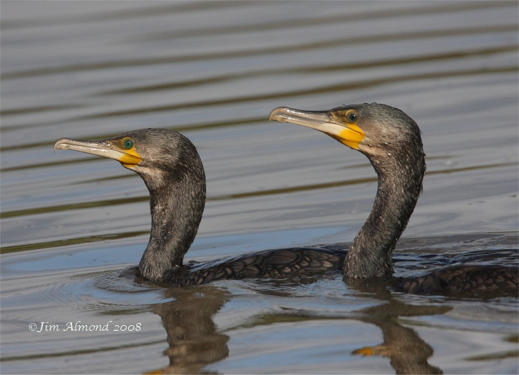 Cormorants x 2 VP 24 8 08 IMG_8526