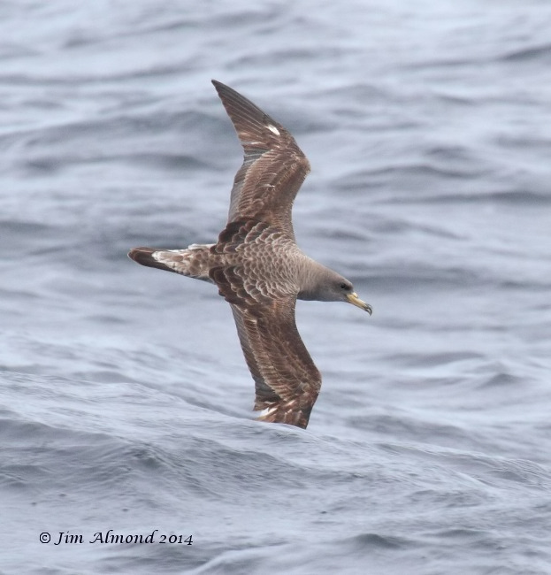 Corys Shearwater flight upperparts  Scilly Pelagic 9 8 14 IMG_7939