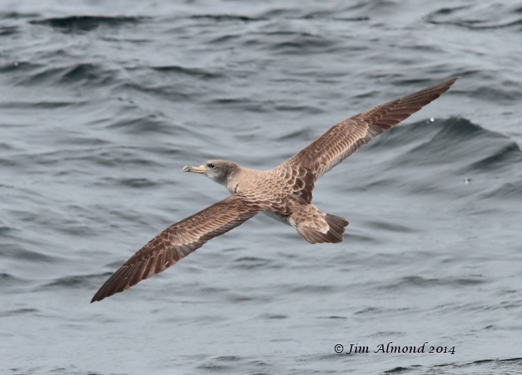 Corys Shearwater flight upperparts Scilly Pelagic  9 8 14 IMG_2609