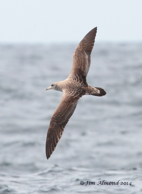 Corys Shearwater flight upperparts Scilly Pelagic 9 8 14 IMG_2617