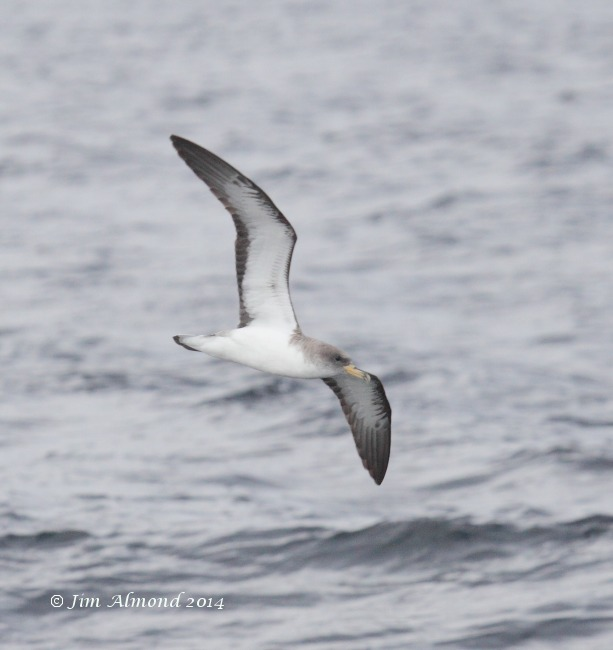 Corys Shearwater underwing Scilly Pelagic 8 8 14 IMG_7766 1