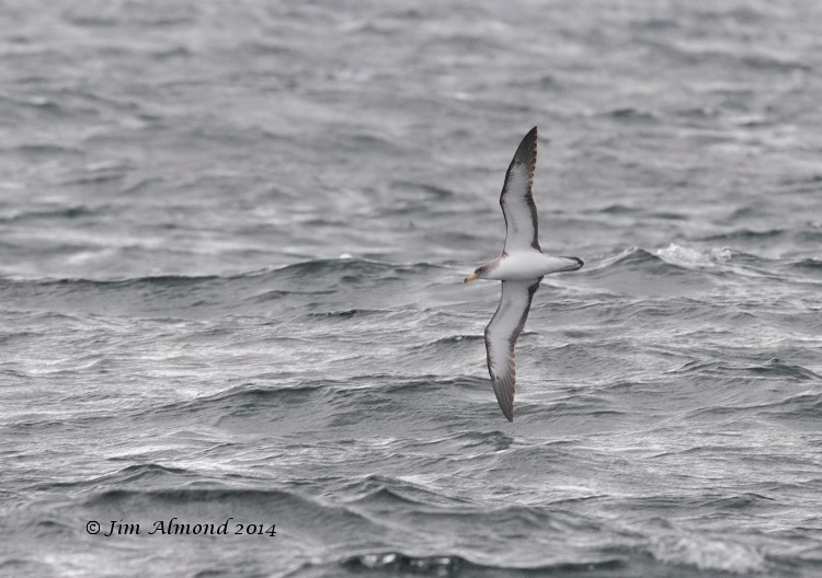Corys Shearwater underwing banking Scilly Pelagic 8 8 14 IMG_2239