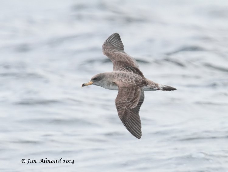 Corys Shearwater upperparts Scilly Pelagic 8 8 14 IMG_2106