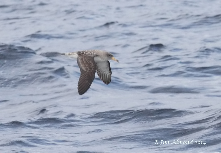 Corys Shearwater upperparts Scilly Pelagic 8 8 14 IMG_7805