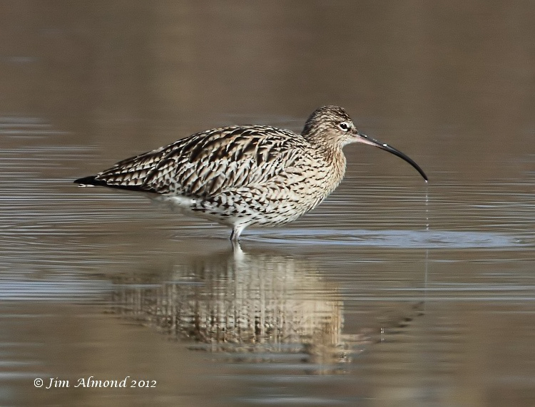 Curlew drinking VP 18 3 12 IMG_1576