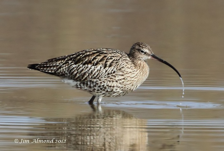 Curlew drinking VP 18 3 12 IMG_1583