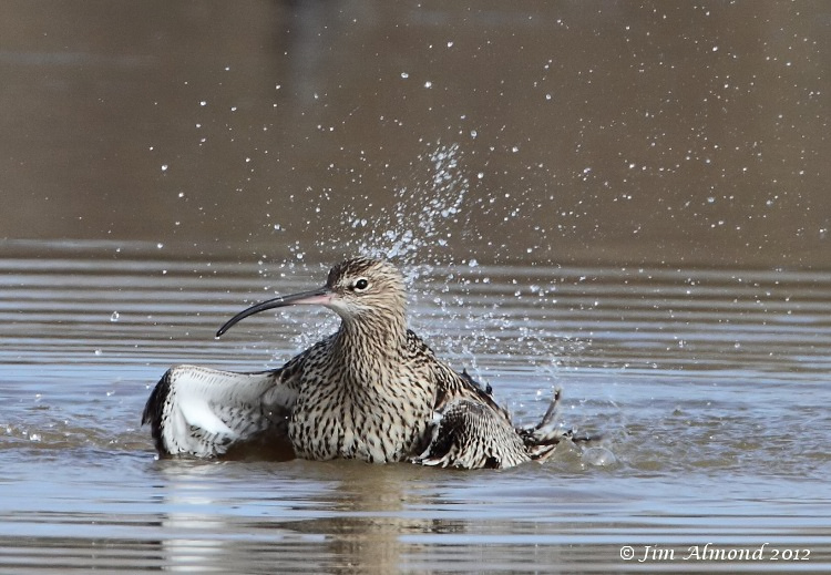 Curlew washing VP 18 3 12 IMG_1607