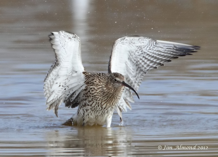 Curlew washing VP 18 3 12 IMG_1617