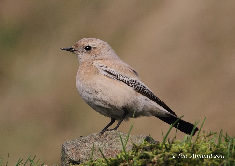 Desert Wheatear Titterstone Clee small stone side on  27 11 11   IMG_0740