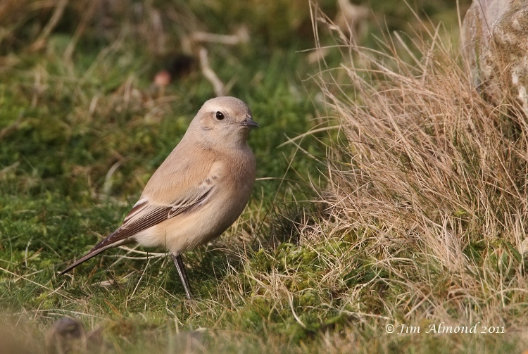 Desert Wheatear on grass Titterstone Clee 1 12 11 IMG_1280