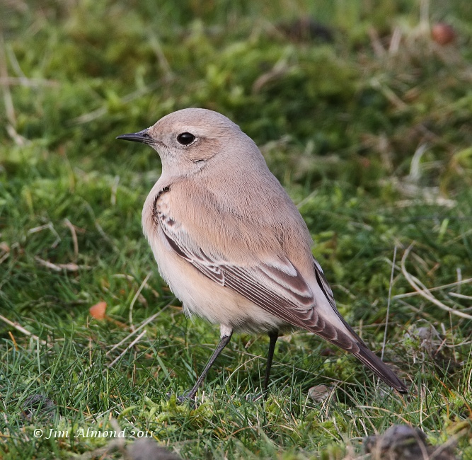 Desert Wheatear on grass Titterstone Clee 1 12 11 IMG_1333