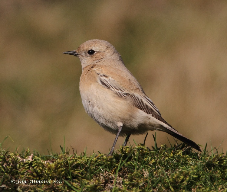 Desert Wheatear on grass upright side on Titterstone Clee 27 11 11  IMG_0935