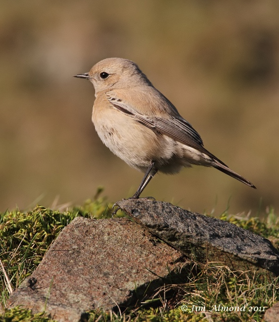 Desert Wheatear on stones side on Titterstone Clee 27 11 11 IMG_1123