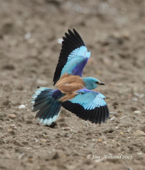 European Roller flight upperwing and tail  Albrough 6 6 12 IMG_5761
