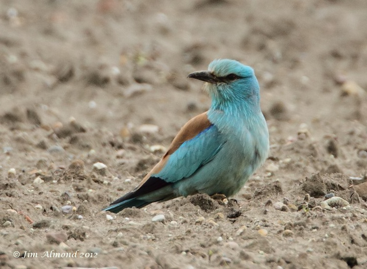 European Roller on ground side on close Aldbrough 6 6 12  IMG_5752