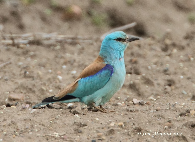 European Roller on ground side on tail and legs showing Aldbrough 6 6 12 IMG_5677