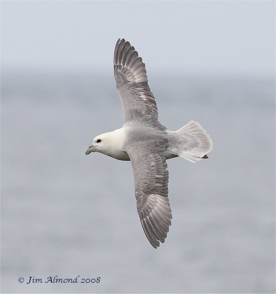 Fulmar flight Farnes 14 5 08 IMG_4560