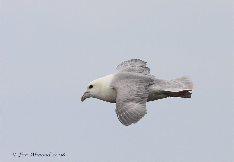 Fulmar flight Farnes 14 5 08 IMG_4583