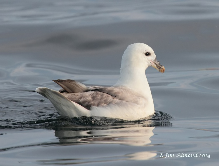 Fulmar on water from rear Scilly Pelagic 7 8 14 IMG_1931