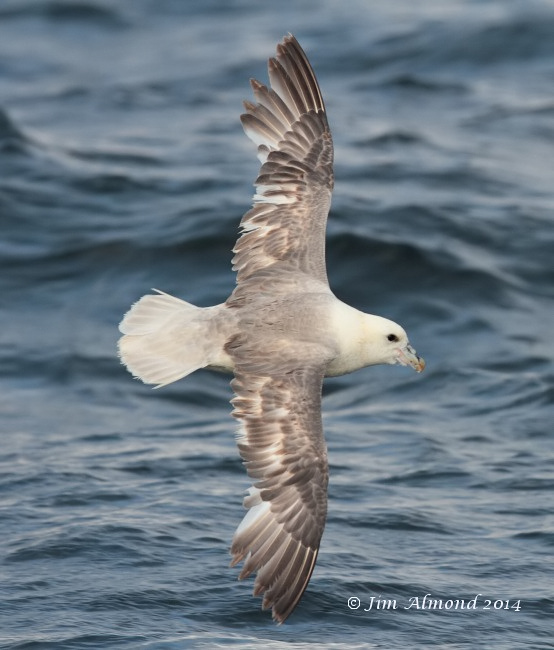 Fulmar upperwing Scilly Pelagic 8 8 14  IMG_2199