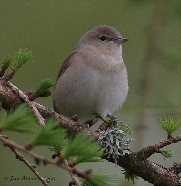 Species Gallery - Garden Warbler